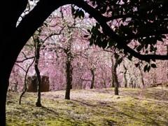 枝を額縁に梅を見る