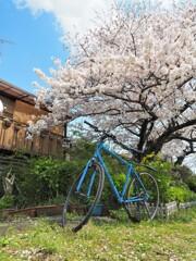 チャリと桜Ⅰ