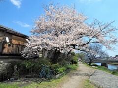 チャリと桜Ⅱ
