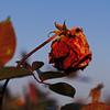 朽ちた薔薇