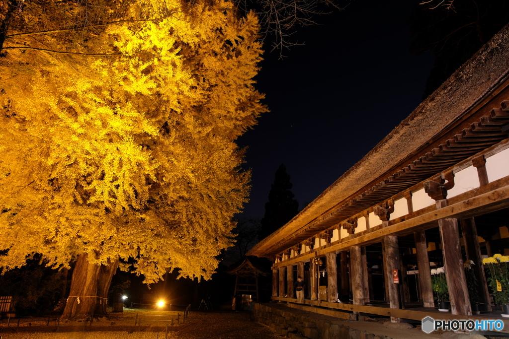 新宮熊野神社長床の大イチョウ