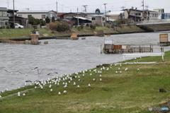 蟹田川 シロウオ漁