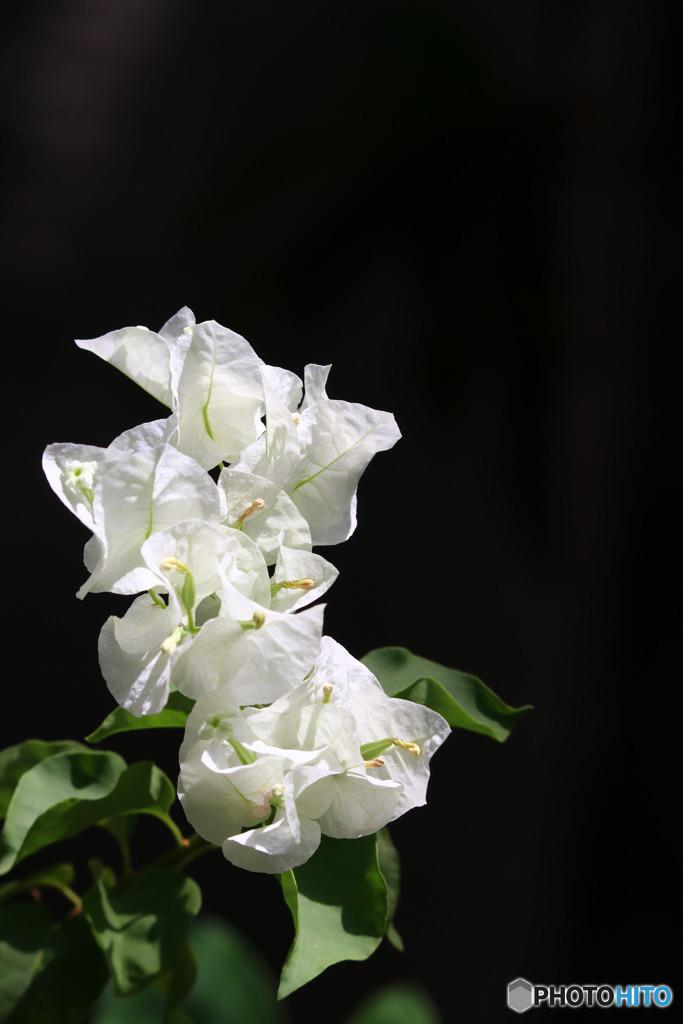 ブーゲンビリア(白)