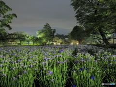 真夜中の花菖蒲畑