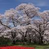 桜とチューリップの競演