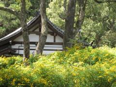 松尾大社の春
