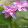 紫陽花の輪舞曲 ♪