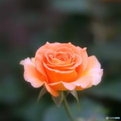 西洋人的焦点で撮影した薔薇