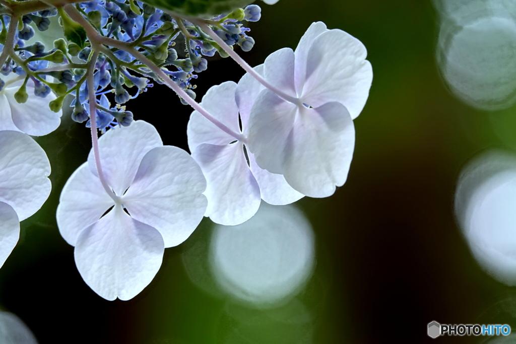 紫陽花のB面