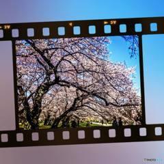 年度末最後の営業日は桜で締めます♪