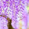 紫藤の霧雨