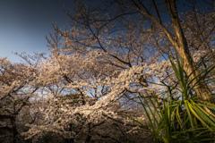 外堀通りの桜 2