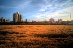 午後の麦畑