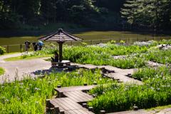 昼下がりの菖蒲園