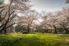 外堀通りの桜 3