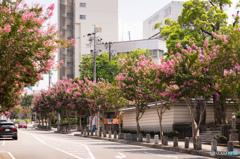 百日紅の並木