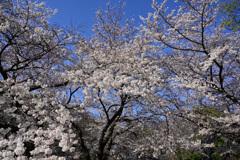 混みあう桜