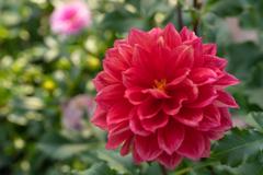 柔らかな花弁