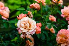 少しお疲れ気味のバラ