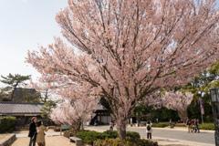 桜をめでる