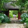 アジサイの咲く寺
