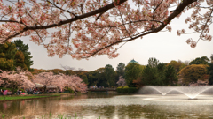 公園の花見 1