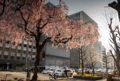 枝垂れ桜 オカッパ風