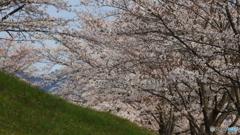 桜定番撮影地にて(1)