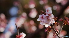 寒桜再び(2)