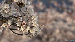 桜定番撮影地にて(2)