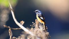 今季初冬鳥撮り
