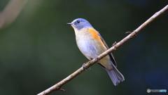 幸せの青い鳥今季初撮影