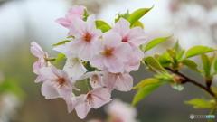 葉桜もまた良し(1)