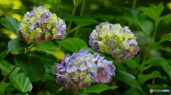 紫陽花その5