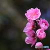 桃咲く(3)