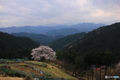孤高の一本桜2