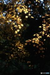 晩秋に輝く