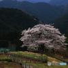 孤高の一本桜