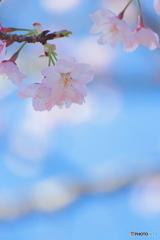 熱海早咲き