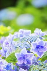 紫陽花のうた
