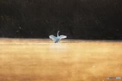 孤高の白鳥
