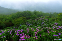 霧の紫陽花園地
