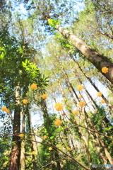 ミツマタの咲く谷