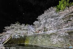 高島城址の桜吹雪