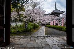 本法寺の桜①