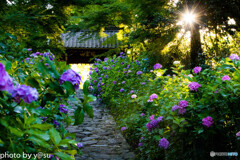 2020_06_20 愛知県 本光寺の紫陽花-51