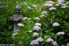 丹州観音寺の紫陽花③