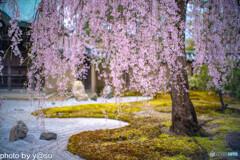 高台寺の桜②