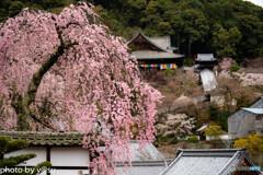 美しき春の長谷寺⑩