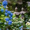 丹州觀音寺の紫陽花
